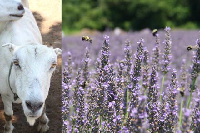 Hang with the friendly goats at the Catapano Dairy Farm and take in the scented fields at Lavender By the Bay.