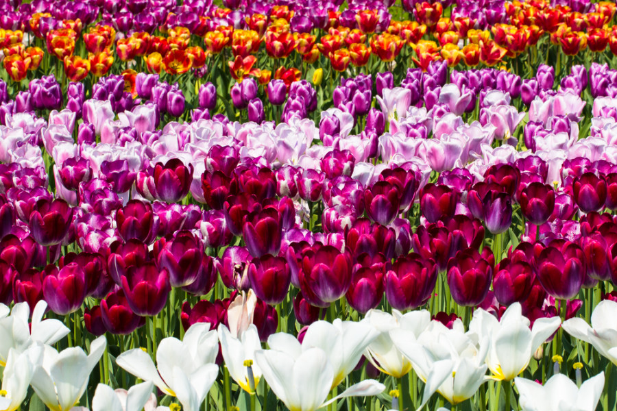 Keukenhof Park tulips. Photo courtesy of Shutterstock