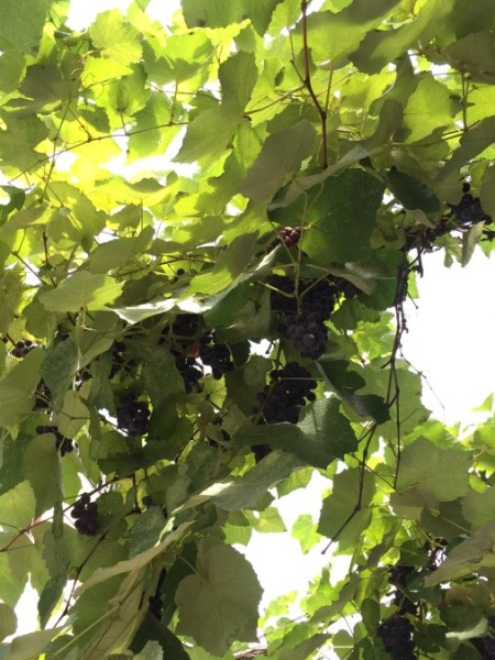 A string of grape vines provides shade to a street in Old Tbilisi.