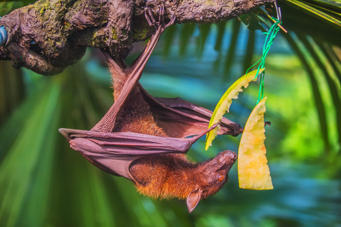 Animals like the Malayan fruit bat can be seen at the Singapore Zoo. Photo courtesy of Shutterstock.