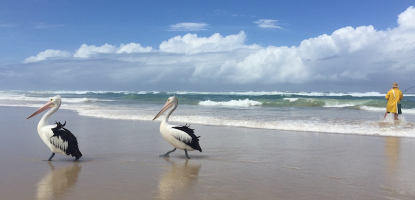 Pelicans stroll on Byron Bay's Broken Head Beach