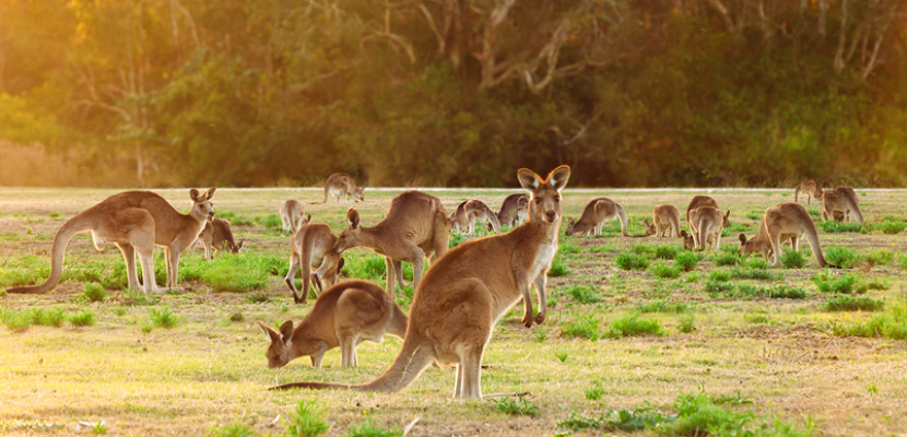 australia kangaroo featured